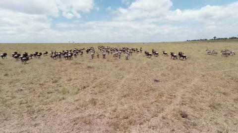 Aerial Shot. Wildebees And Zebras.