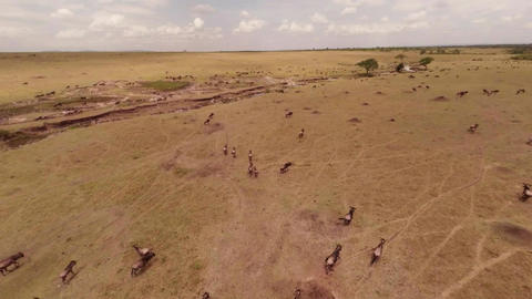 Aerial Shot. Wildebees And Zebras. 2