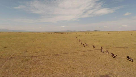 Migration of Wildebeest. Aerial Footage