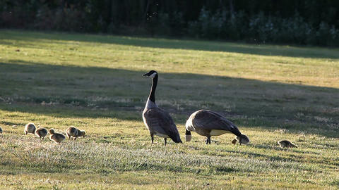 Canada goose family Footage