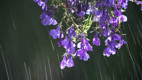 lobelia flowers being sprinkled Footage