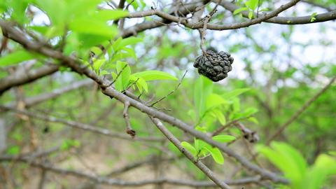 Coffee tree plantation, close up, Laos Stock Video Footage