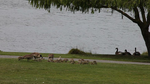 Goslings At The Park stock footage