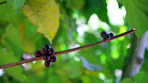 Coffee Tree Plantation, Close Up, Laos stock footage
