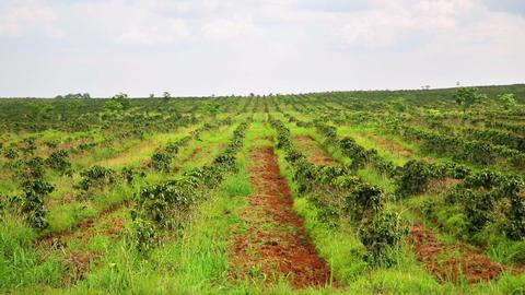 Industrial coffee tree plantation, farm, garden, L Stock Video Footage