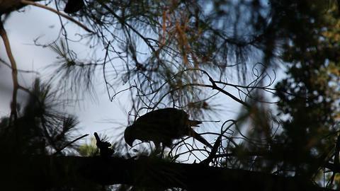 hawk plucking a bird Footage
