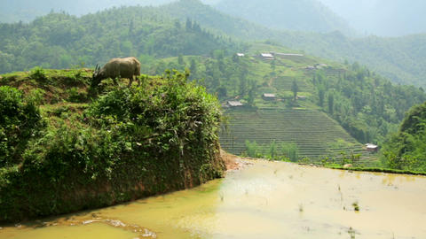 Farming Plowing With Ox, Farm In Sapa, Vietnam, Pr stock footage