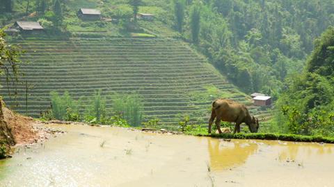 farming plowing with ox, farm in Sapa, Vietnam, pr Stock Video Footage