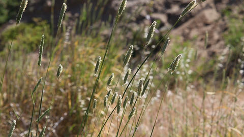 Grass Seed Heads stock footage