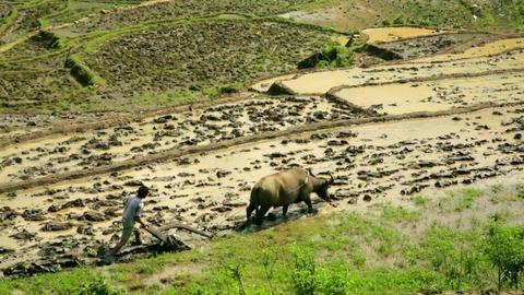 Farming Plowing With Ox, Farm In Sapa, Vietnam, Pr stock footage