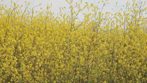 field of yellow flowers Footage