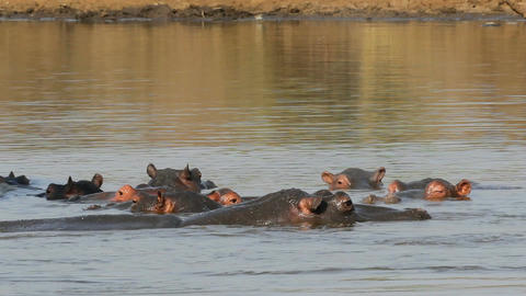 Hippopotamus in water Stock Video Footage