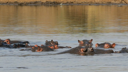 Hippopotamus in water Footage