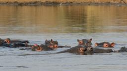 Hippopotamus in water Footage