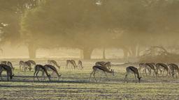 Springbok antelopes Footage