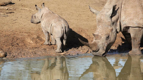 White rhinoceros and calf Footage
