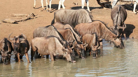 Wildebeest at the waterhole Stock Video Footage