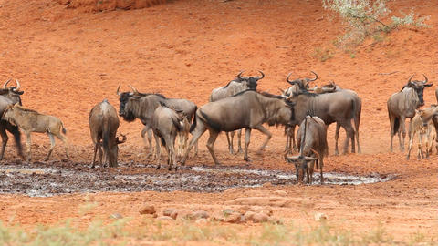Wildebeest at waterhole Stock Video Footage