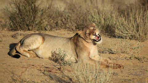 Yawning lioness (85) Footage