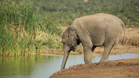 African elephant drinking water Live Action