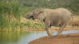 African elephant drinking water Stock Video Footage