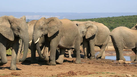 African elephants at waterhole Live Action