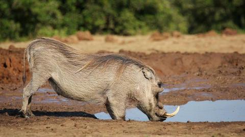 Male warthog drinking Footage