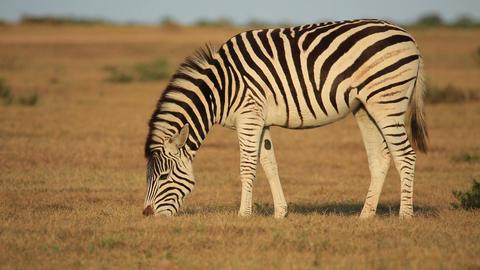 Plains Zebra grazing Footage