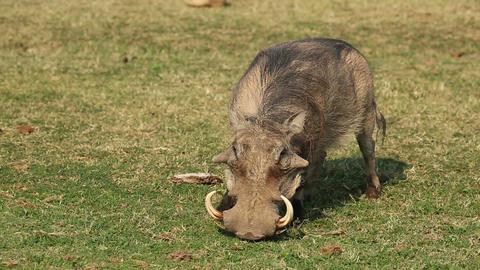 Warthog feeding Footage