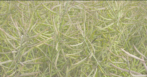 Lots of rapeseed or oilseeds on the fields on a fi Stock Video Footage