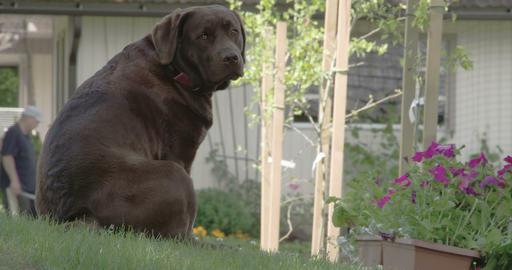 The cute black labrador retriever sitting down the Footage