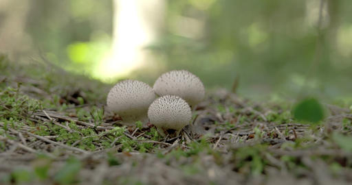 Three white warted puffball mushroom in the middle Footage