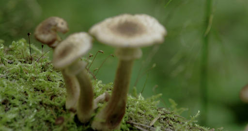Three white brown-warted mushrooms on the mossy tr Stock Video Footage