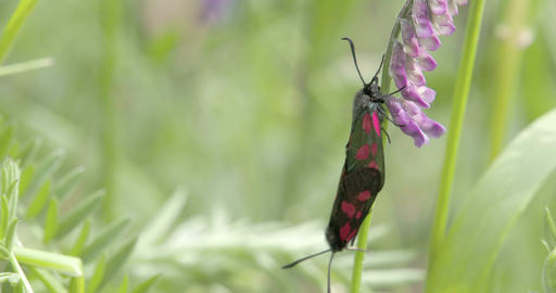 A red spotted black butterfly hanging on the orchi Stock Video Footage