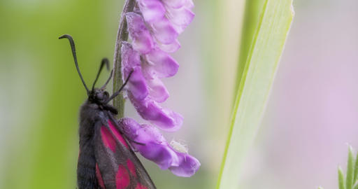 A black pink-red spotted butterfly hanging on the  Footage