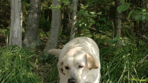 A white labrador retriever dog drinking some water Stock Video Footage