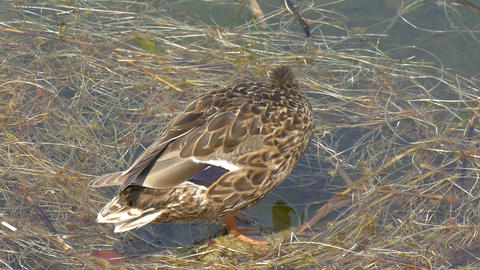 A wild duck or mallard swimming on the lake GH4 4K Stock Video Footage