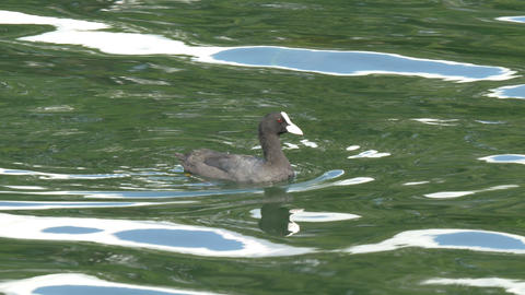 A small Eurasian Coot floating on the lake GH4 4K  Footage