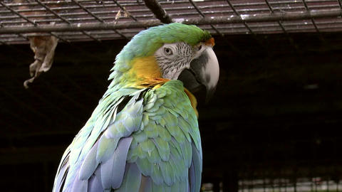 catalina macaw bird Footage
