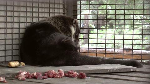 coati resting Stock Video Footage