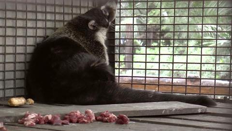 coati resting Footage