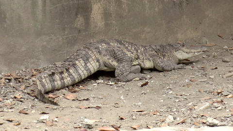 crocodile on ground Footage