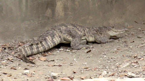 crocodile on ground Stock Video Footage