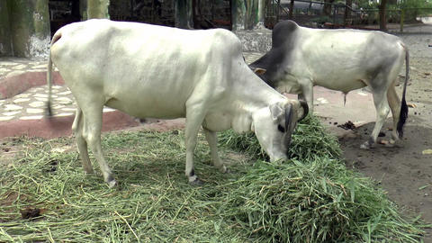 cattle eating grass Stock Video Footage
