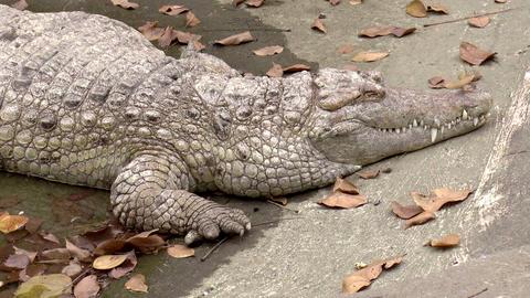 crocodile upper body shot resting Stock Video Footage