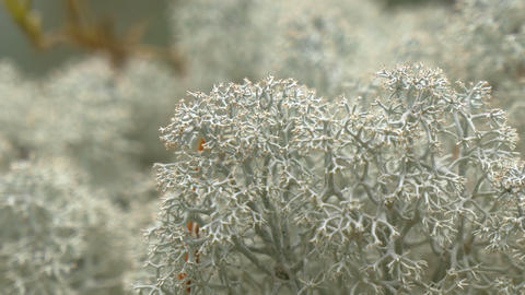 Lots of white cup lichen or Brodo on display GH4 4 Footage