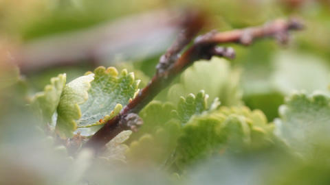 Among Around Polar Birch Macro On Moss stock footage