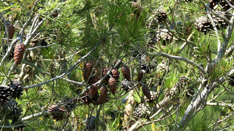 Pine Cones and Needles Footage