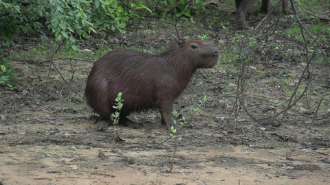 005 Pantanal , Capybara ( Hydrochoerus hydrochaeri Footage