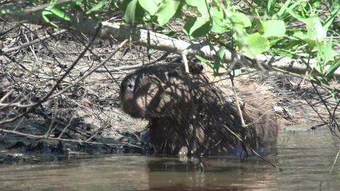 010 Pantanal , Capybara ( Hydrochoerus hydrochaeri Footage